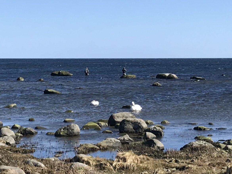 havsöringsfiske i skillinge
